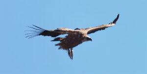 vautour fauve en vol copie