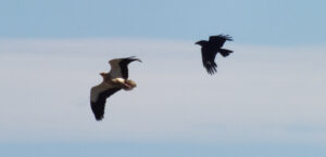 V percnoptère et Grand Corbeau
