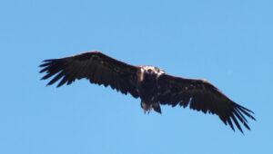 vautour moine vol